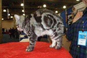 Мэнкс кошка