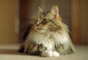 Норвежская лесная кошка с кисточками