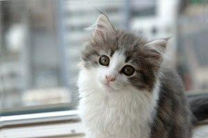 Норвежский котенок с кисточками