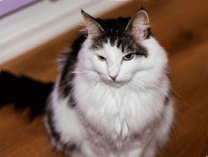 Норвежский кот с кисточками на ушах