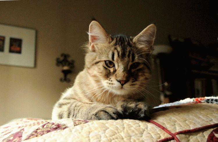 Пиксибоб - порода кошек с кичточками