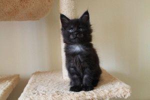 Порода Мейн-кун фото котят
