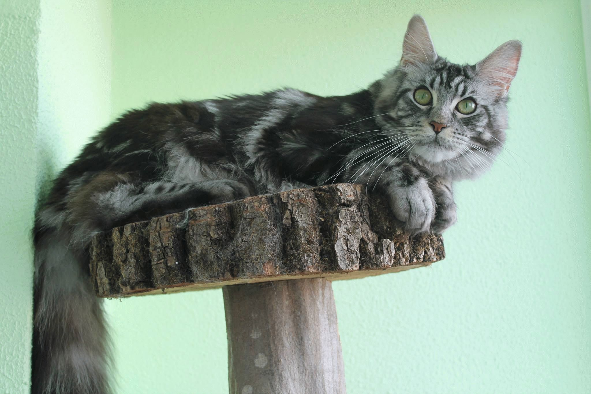 картинки породы кошки мейн кун