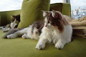 Порода кошек с кисточками на ушах - норвежская лесная