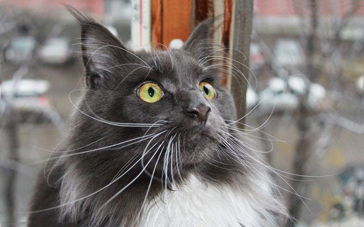 Коты с кисточками на ушах 19