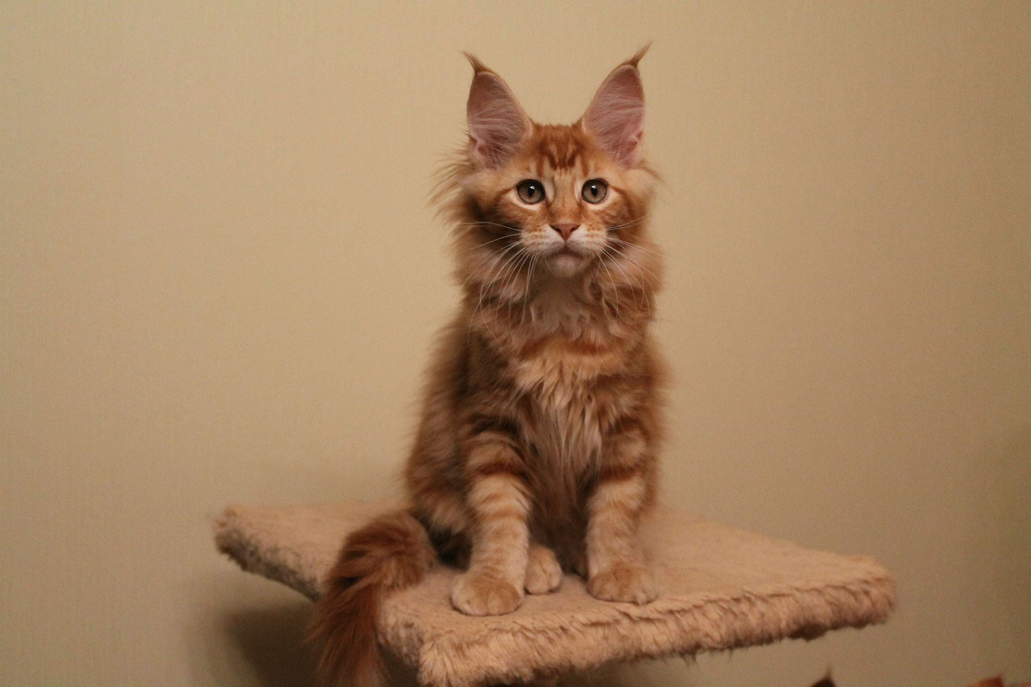 Фото кот Мейн кун