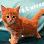 Питомник кошек Мейн-кун «Magic Sun»