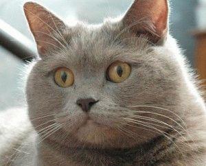 Отзыв о британской короткошерстой кошке