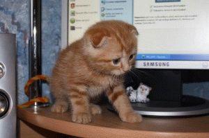 Отзыв о шотландском вислоухом котенке