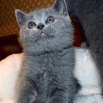Питомник шотландских кошек «Grand Star Way»