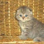 Питомник шотландских кошек «IngLand Ersh»