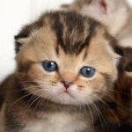 Питомник шотландских кошек «Ru-Star Fold»