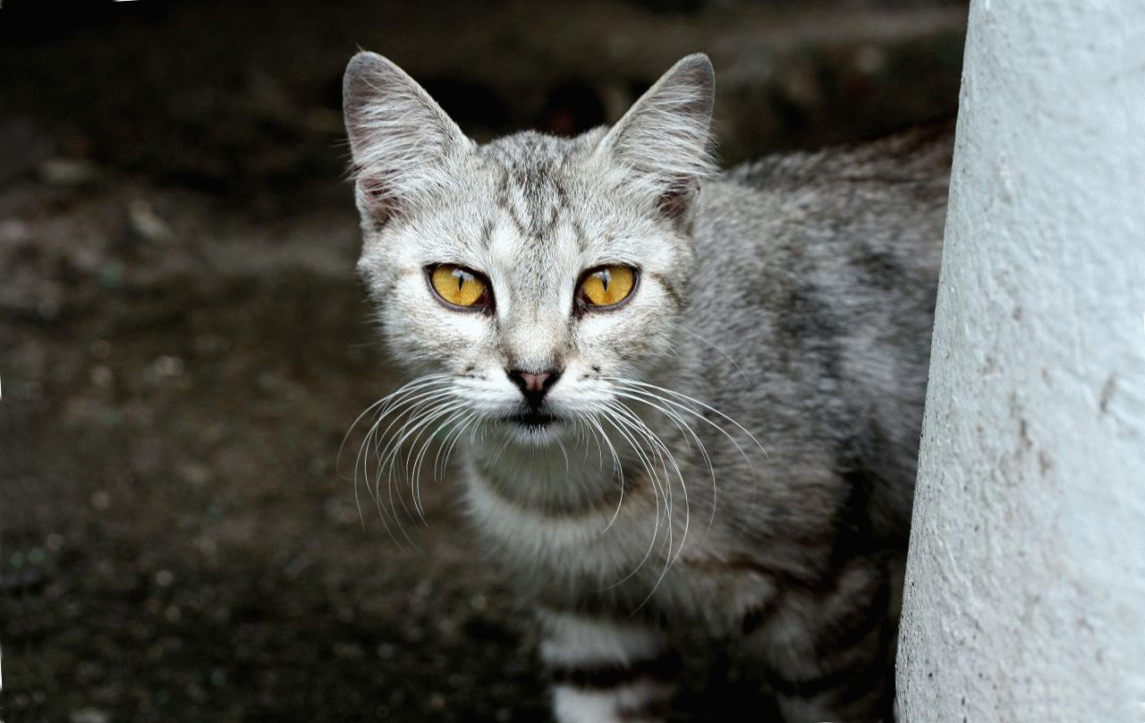 Мявкання кота