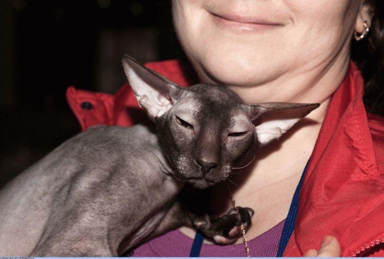 Бесшерстные кошки - порода Петерболд
