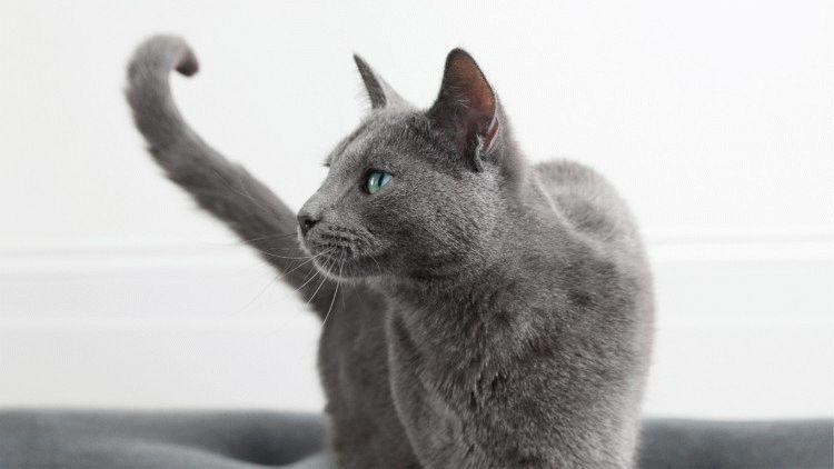 Какая порода кошки в рекламе Шеба