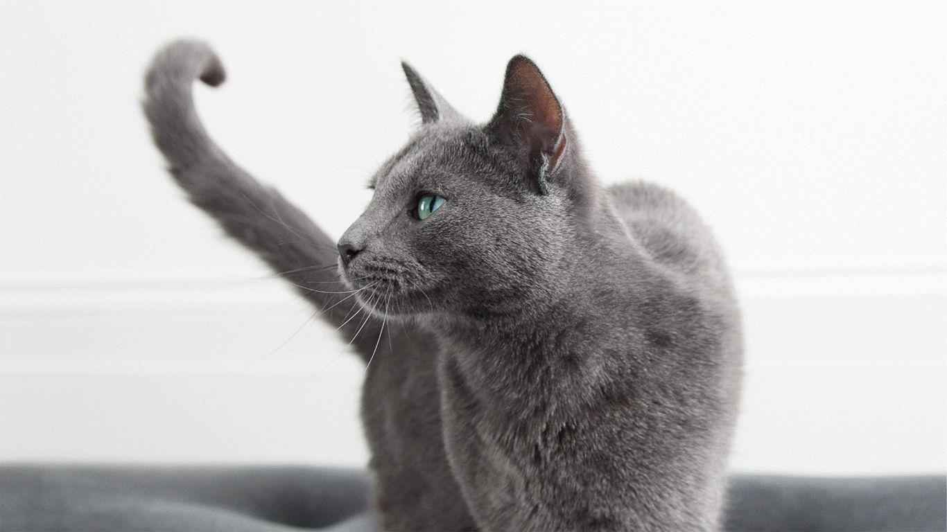 В рекламе вискас какая порода кошки