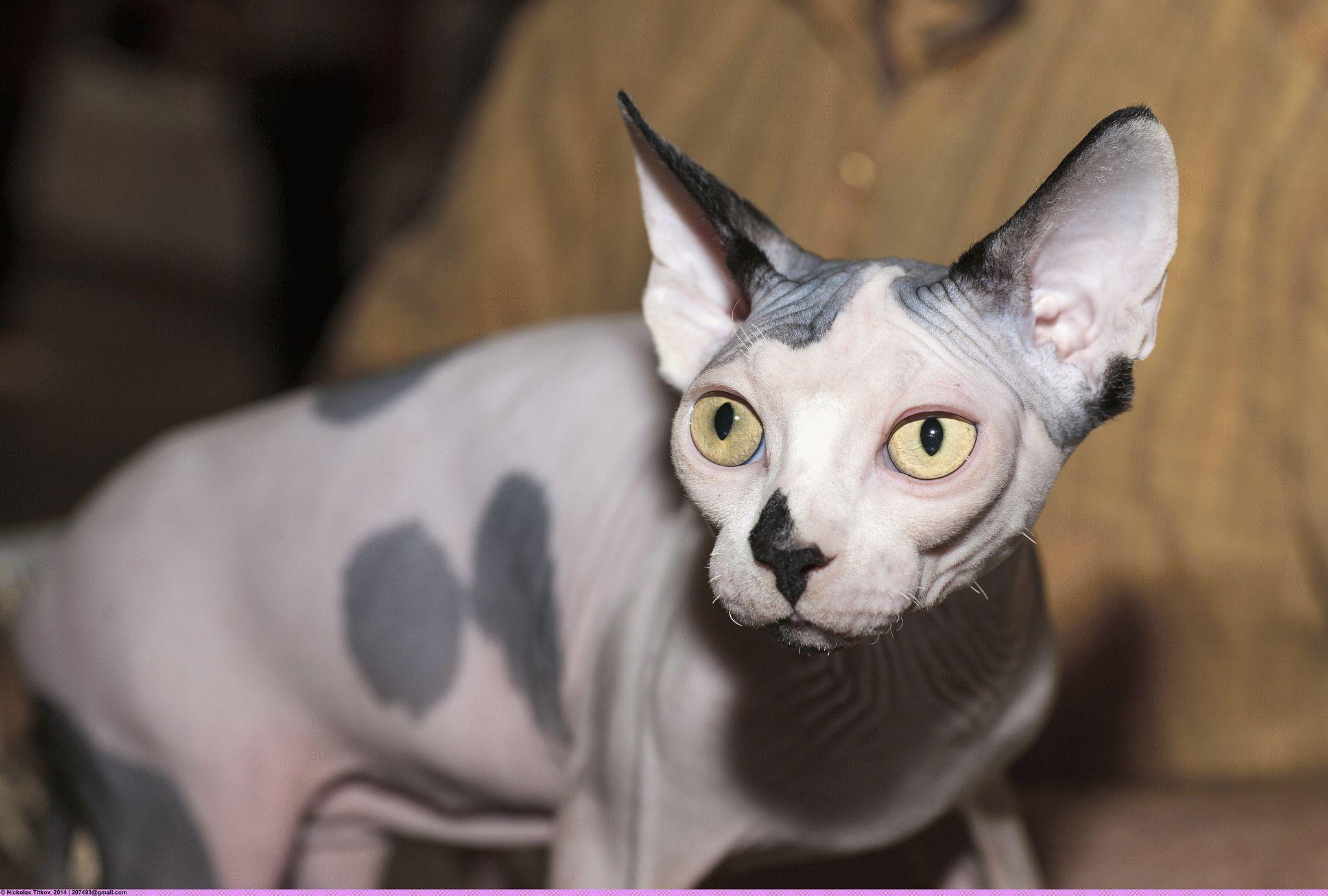 Клички для кота сфинкс