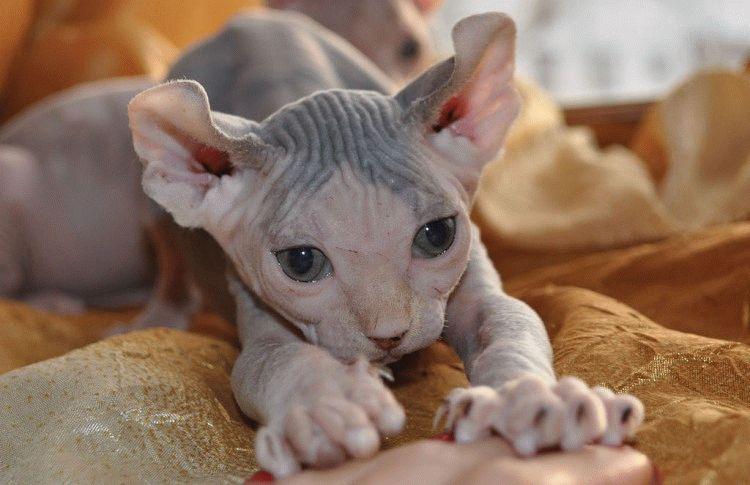 Лысые кошки - котенок породы Эльф