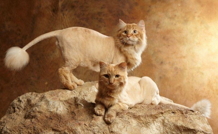 Стрижка кошки под льва