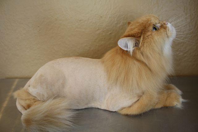 Можно ли подстричь кота ножницами