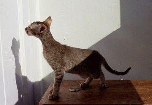 Ориентальная кошка описание