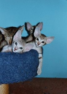 Ориентальная кошка - фото котят