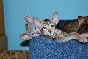 Ориентальная кошка характер