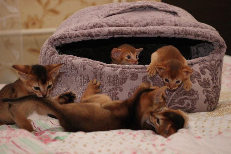Абиссинская кошка котята фото