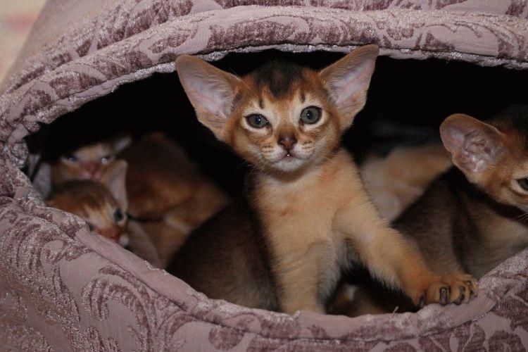 Абиссинская кошка фото дикий окрас