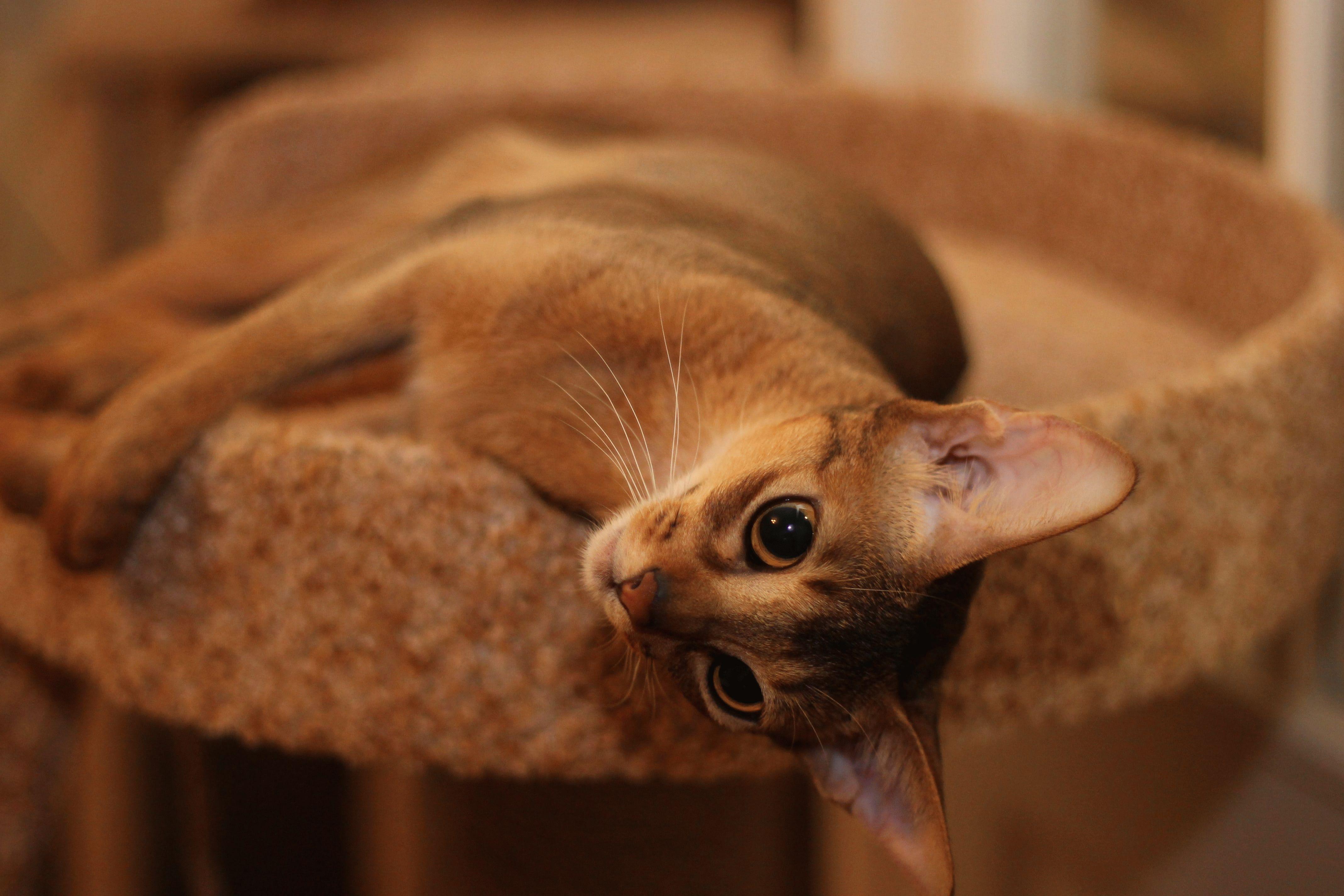 Линяет абиссинский кот