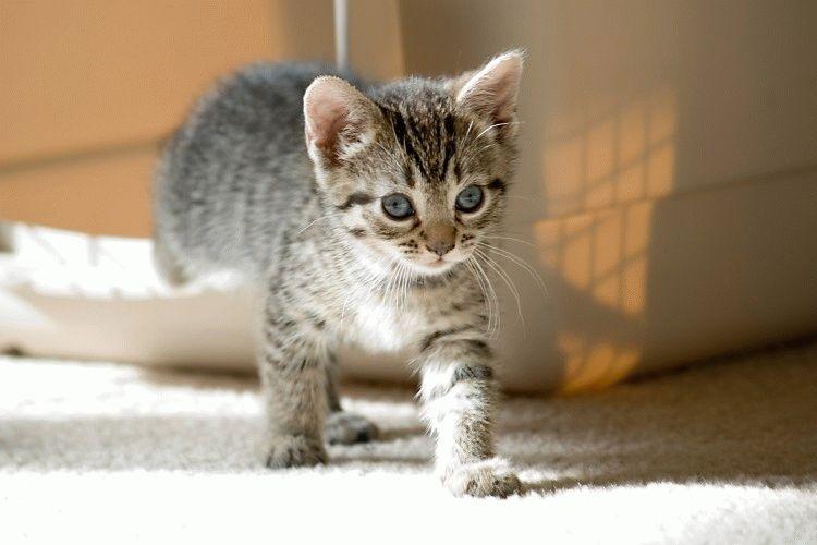 Беременность у кошки длится 9 недель
