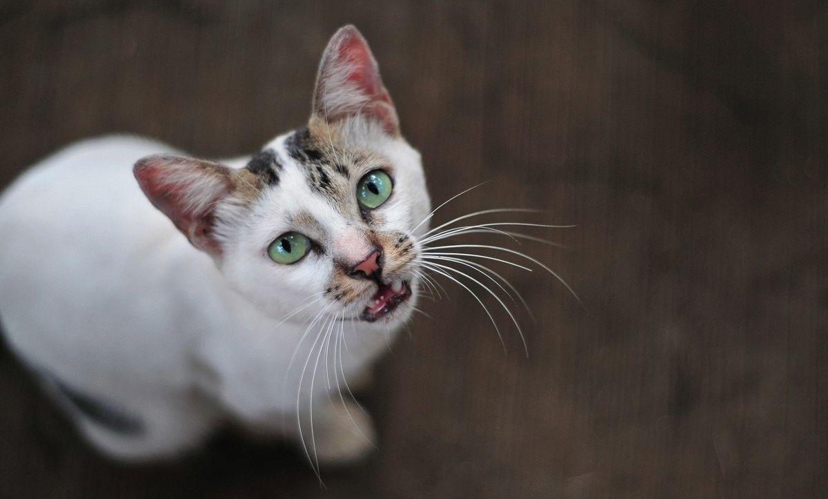 Можно ли кошкам сыр