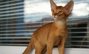 Описание абиссинской кошки