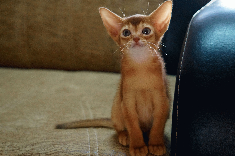 порода кошек абиссинская фото цена