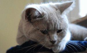 Чумка у кошек