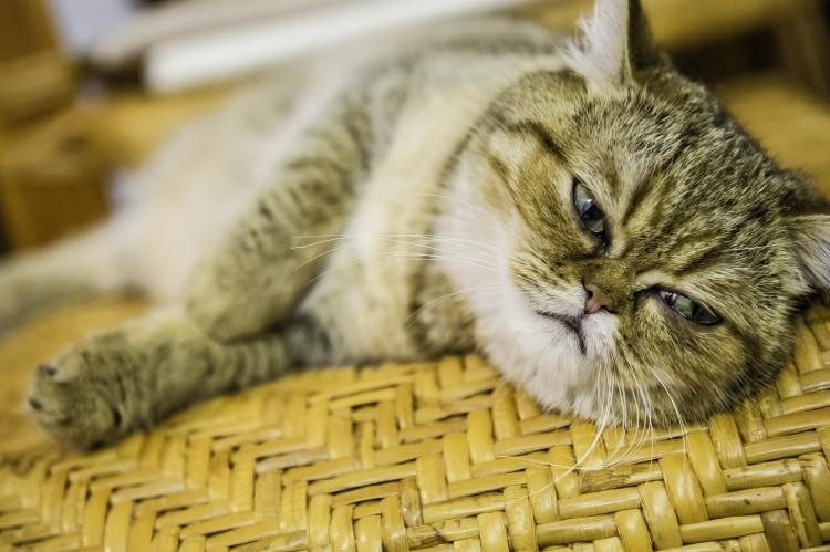 Какую кошку завести в квартире - Экзотическая короткошерстная