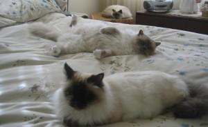 Лучшие кошки для квартиры