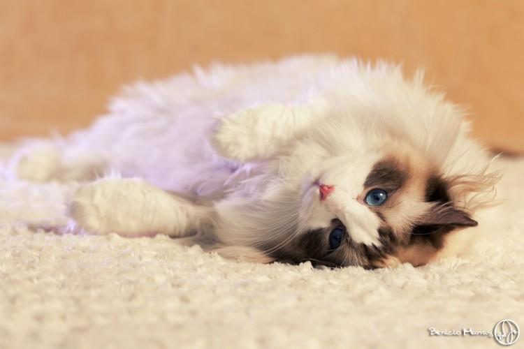 Спокойные кошки для квартиры - рэгдолл