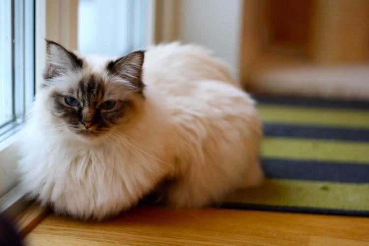 Спокойные породы кошек для квартиры - священная бирма