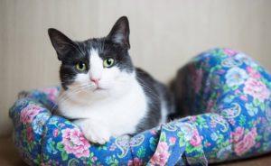 Когда лучше делать стерилизацию кошки