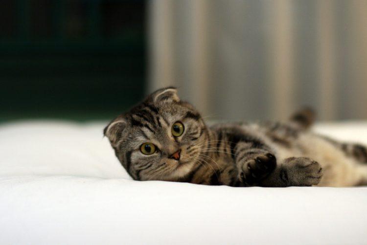 Какая порода кошек самая красивая - Шотландская вислоухая