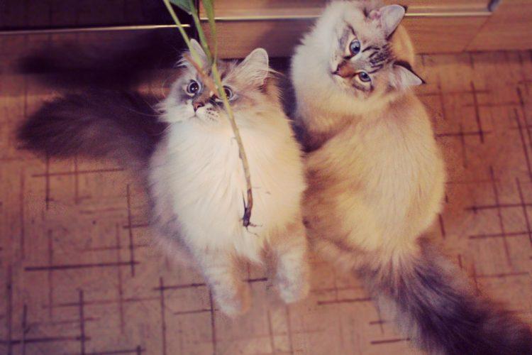 Невская маскарадная - самая красивая порода кошек в мире