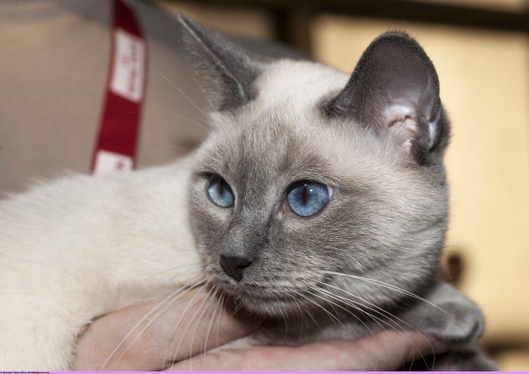 Самая красивая порода кошек в мире - фото Тайской кошки