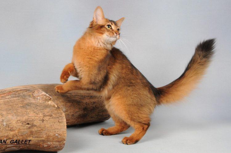 Самые красивые кошки - Сомали