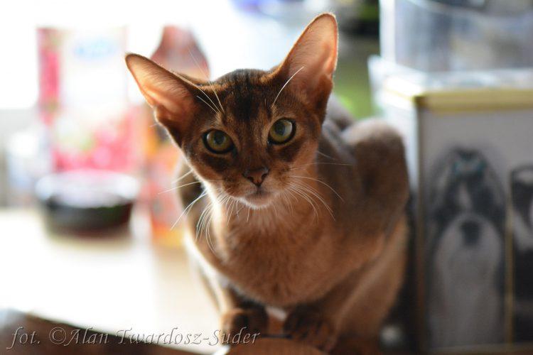 самые красивые породы кошек - абиссинская кошка