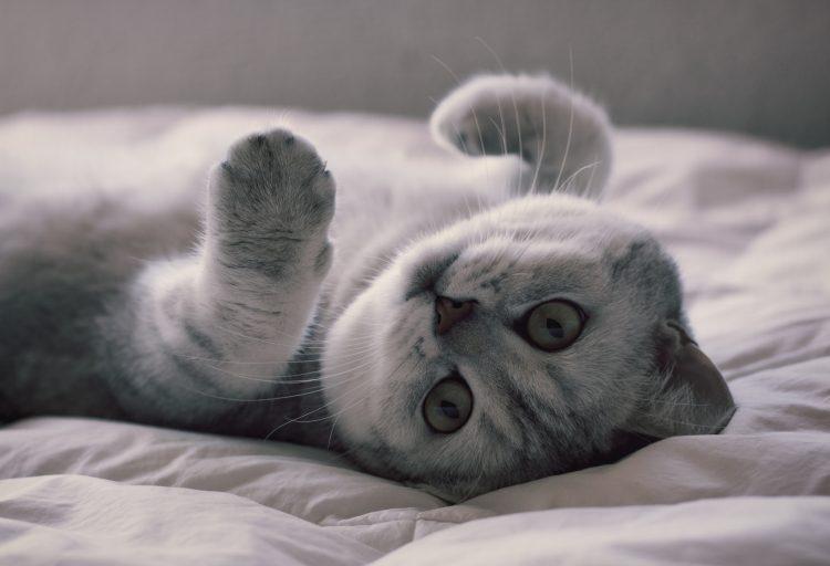 Самые красивые породы кошек - британская короткошерстная