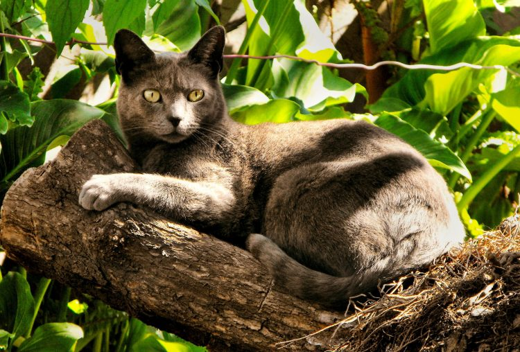 Самые красивые породы кошек топ 10 - Русская голубая