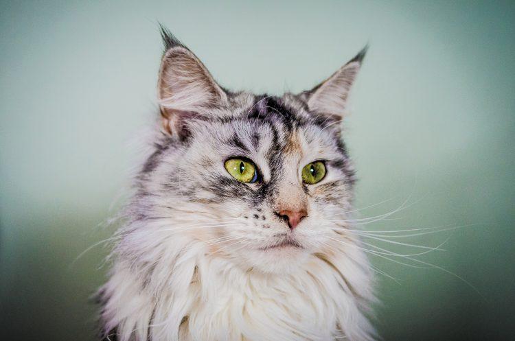 Самые красивые породы кошек фото Мейн-куна