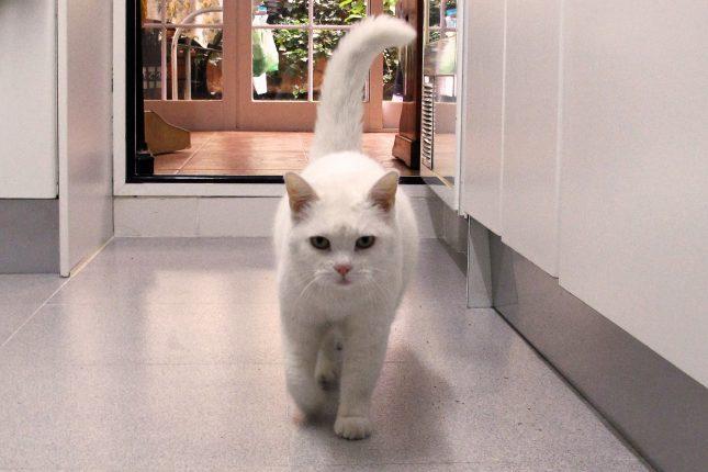 Белая британская короткошерстная кошка фото