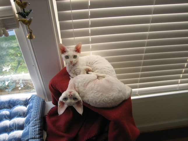 Белые кошки породы девон рекс фото